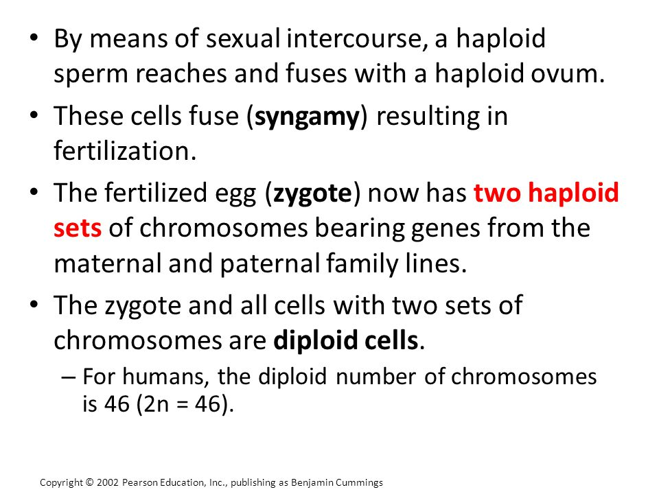 By means of sexual intercourse, a haploid sperm reaches and fuses with a haploid ovum. These cells fuse (syngamy) resulting in fertilization. The fert
