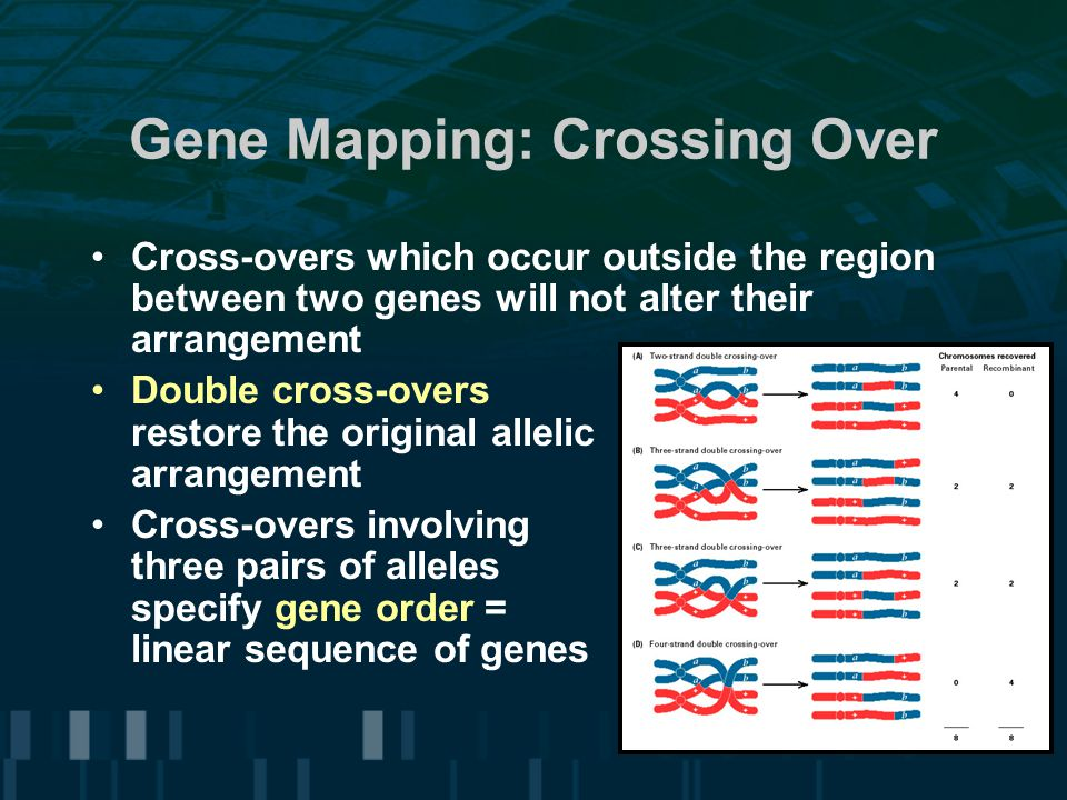 Gene Mapping: Crossing Over Cross-overs which occur outside the region between two genes will not alter their arrangement Double cross-overs restore t