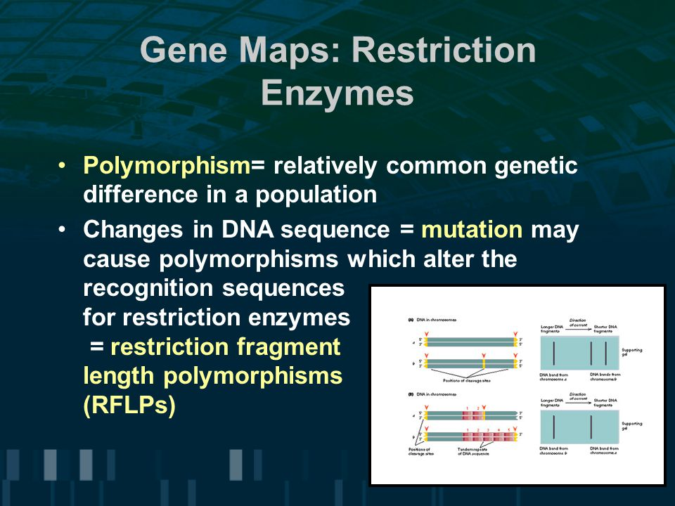 Gene Maps: Restriction Enzymes Polymorphism= relatively common genetic difference in a population Changes in DNA sequence = mutation may cause polymor
