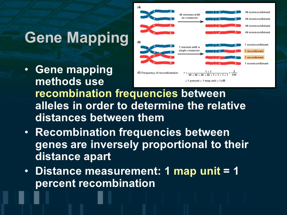 Gene Mapping Gene mapping methods use recombination frequencies between alleles in order to determine the relative distances between them Recombinatio