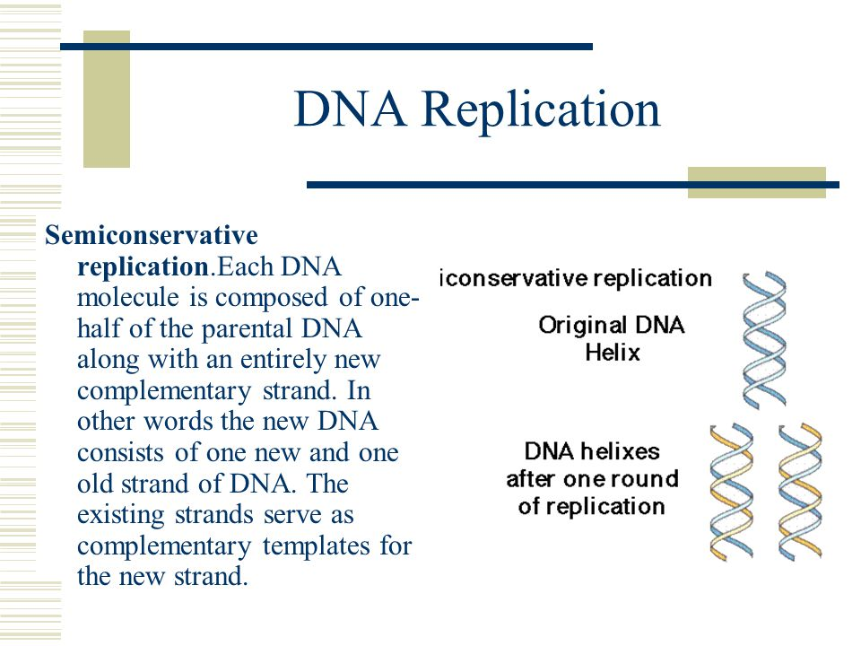 DNA Replication Semiconservative replication.Each DNA molecule is composed of one- half of the parental DNA along with an entirely new complementary s