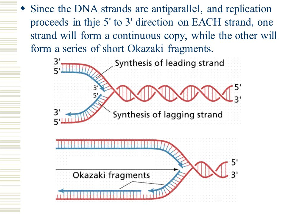  Since the DNA strands are antiparallel, and replication proceeds in thje 5' to 3' direction on EACH strand, one strand will form a continuous copy,