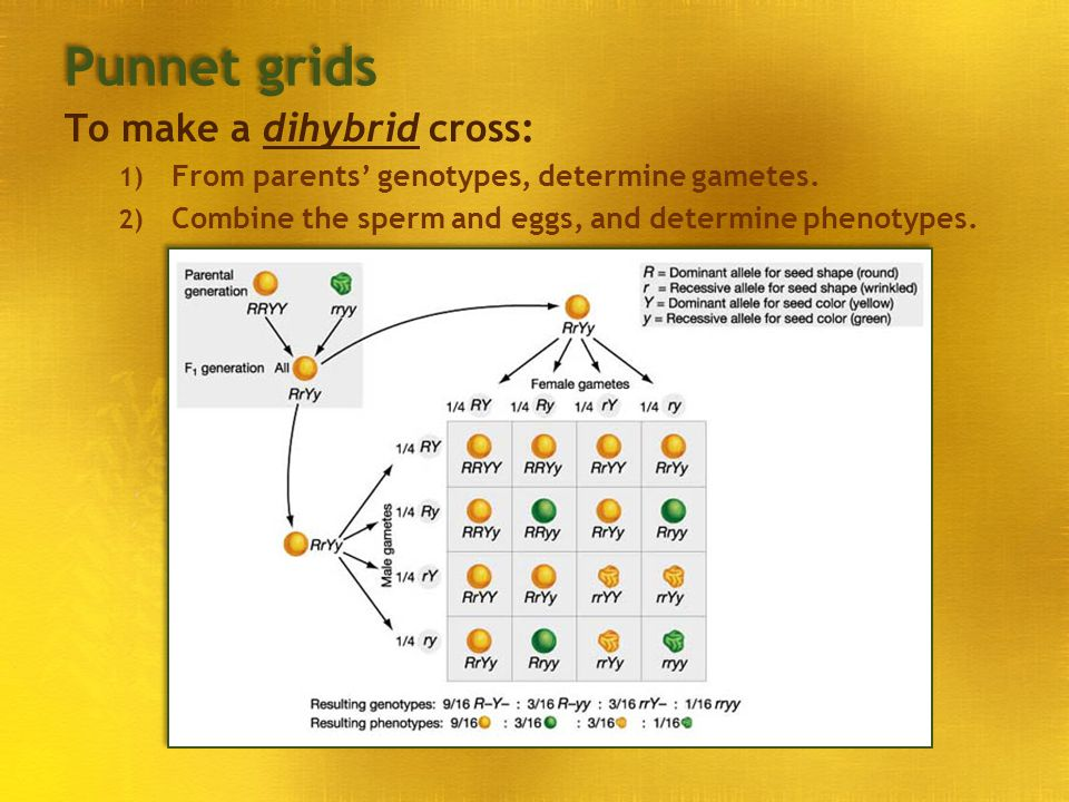 Punnet grids To make a dihybrid cross: 1) From parents' genotypes, determine gametes. 2) Combine the sperm and eggs, and determine phenotypes.
