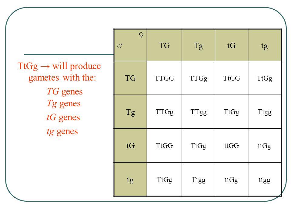 PhenotypesTally Tall & Green Pods 9 Tall & Yellow Pods 3 Short & Green Pods 3 Short & Yellow Pods 1 TT = tallGG = green Tt = tallGg = green tt = shortgg = yellow