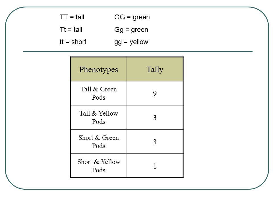 PhenotypesTally Tall & Green Pods 9 Tall & Yellow Pods 3 Short & Green Pods 3 Short & Yellow Pods 1 TT = tallGG = green Tt = tallGg = green tt = shortgg = yellow