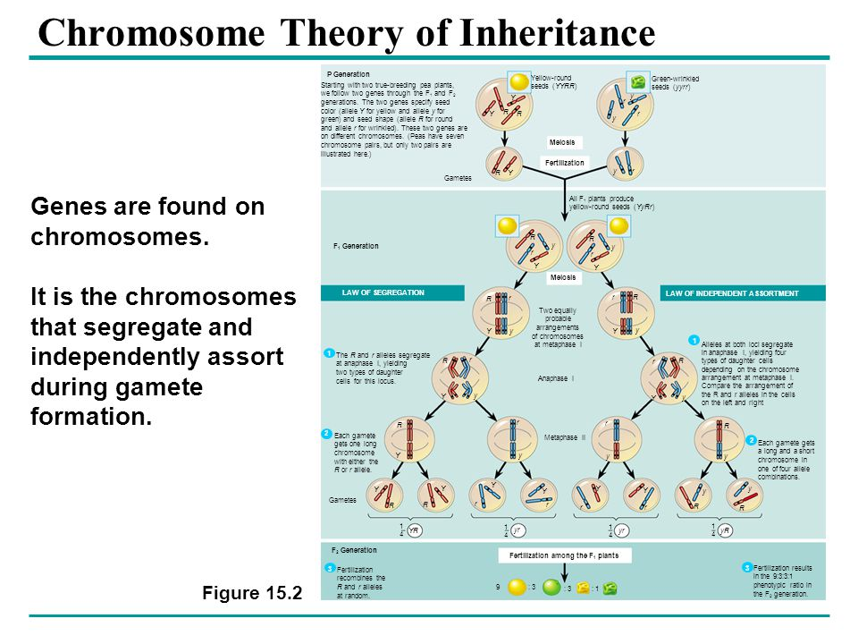 Chromosome Theory of Inheritance Figure 15.2 Yellow-round seeds (YYRR) Green-wrinkled seeds (yyrr) Meiosis Fertilization Gametes All F 1 plants produce yellow-round seeds (YyRr) P Generation F 1 Generation Meiosis Two equally probable arrangements of chromosomes at metaphase I LAW OF SEGREGATION LAW OF INDEPENDENT ASSORTMENT Anaphase I Metaphase II Fertilization among the F 1 plants 9: 3 : 1 1414 1414 1414 1414 YR yr yR Gametes Y R R Y y r r y R Y yr R y Y r R y Y r R Y r y rR Y y R Y r y R Y Y R R Y r y r y R y r Y r Y r Y r Y R y R y R y r Y F 2 Generation Starting with two true-breeding pea plants, we follow two genes through the F 1 and F 2 generations.