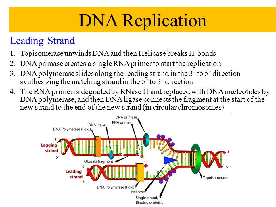 Leading Strand 1.Topisomerase unwinds DNA and then Helicase breaks H-bonds 2.DNA primase creates a single RNA primer to start the replication 3.DNA po