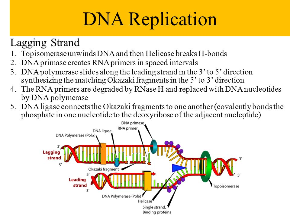 Lagging Strand 1.Topisomerase unwinds DNA and then Helicase breaks H-bonds 2.DNA primase creates RNA primers in spaced intervals 3.DNA polymerase slid