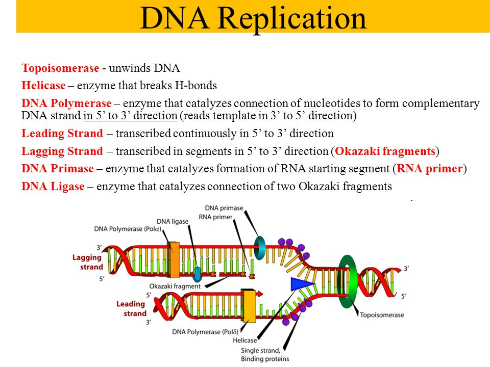 Topoisomerase - unwinds DNA Helicase – enzyme that breaks H-bonds DNA Polymerase – enzyme that catalyzes connection of nucleotides to form complementa