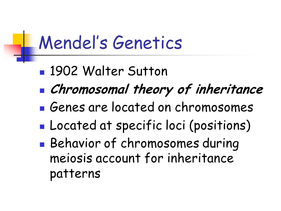 Mendel's Genetics 1902 Walter Sutton Chromosomal theory of inheritance Genes are located on chromosomes Located at specific loci (positions) Behavior