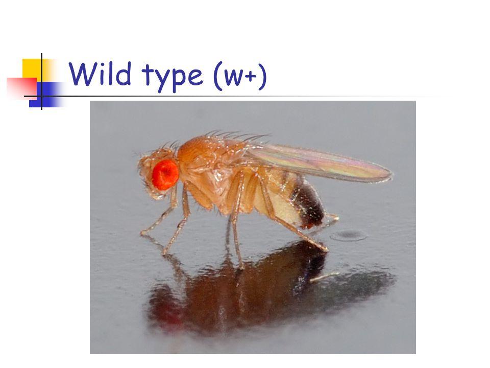 Wild type (w +)