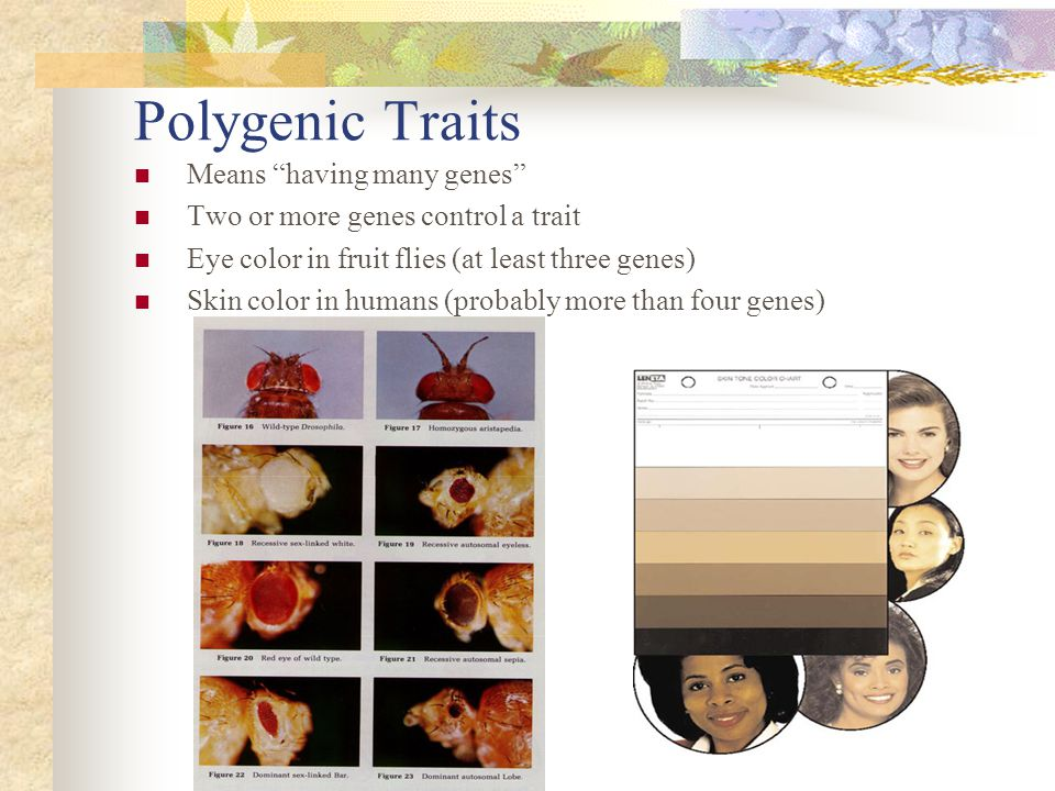"""Polygenic Traits Means """"having many genes"""" Two or more genes control a trait Eye color in fruit flies (at least three genes) Skin color in humans (pro"""