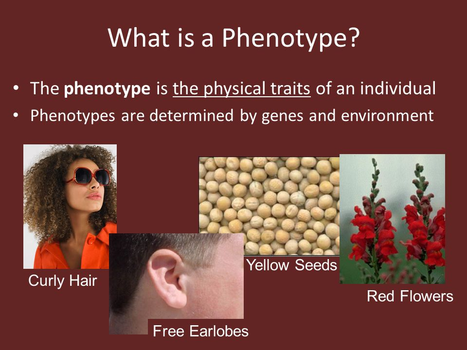 What is a Phenotype? The phenotype is the physical traits of an individual Phenotypes are determined by genes and environment Curly Hair Free Earlobes