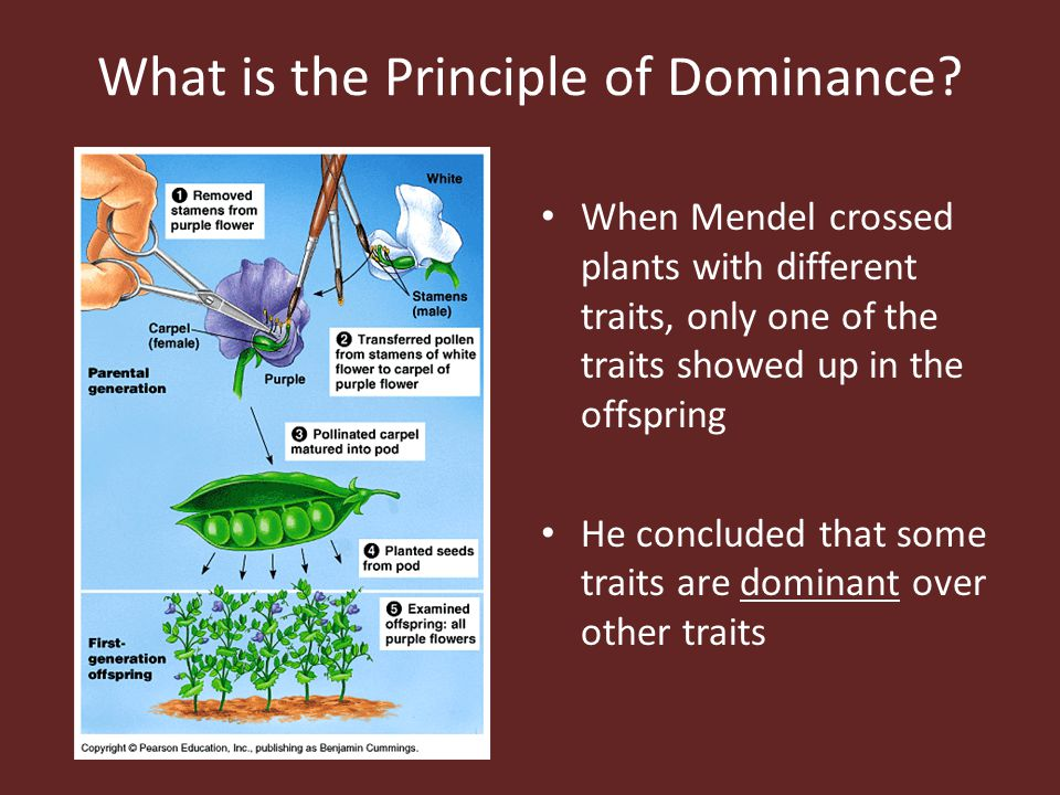 What is the Principle of Dominance? When Mendel crossed plants with different traits, only one of the traits showed up in the offspring He concluded t