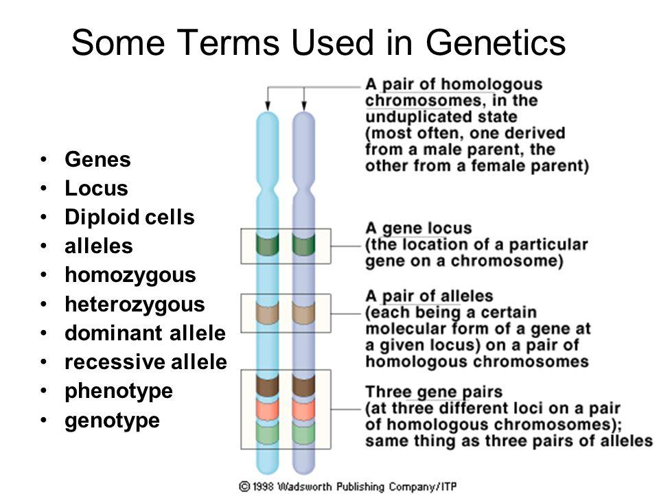 Some Terms Used in Genetics Genes Locus Diploid cells alleles homozygous heterozygous dominant allele recessive allele phenotype genotype