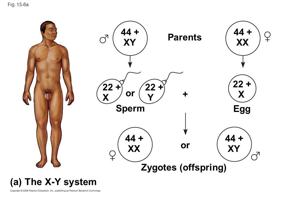 Fig. 15-6a (a) The X-Y system 44 + XY 44 + XX Parents 44 + XY 44 + XX 22 + X 22 + X 22 + Y or Sperm Egg + Zygotes (offspring)