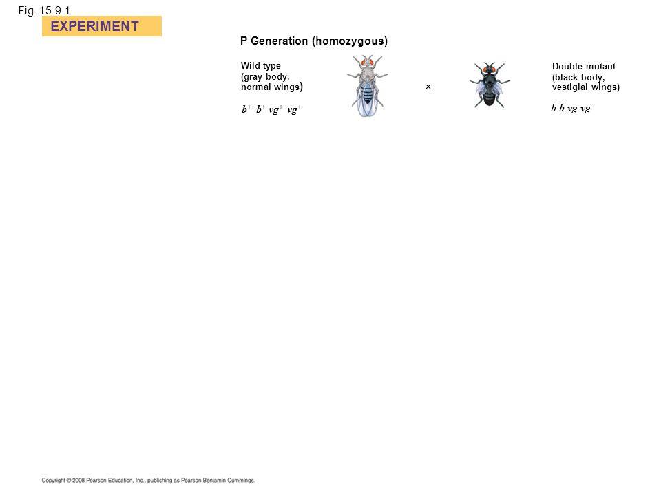 Fig. 15-9-1 EXPERIMENT P Generation (homozygous) Wild type (gray body, normal wings ) Double mutant (black body, vestigial wings)  b b vg vg b + b +