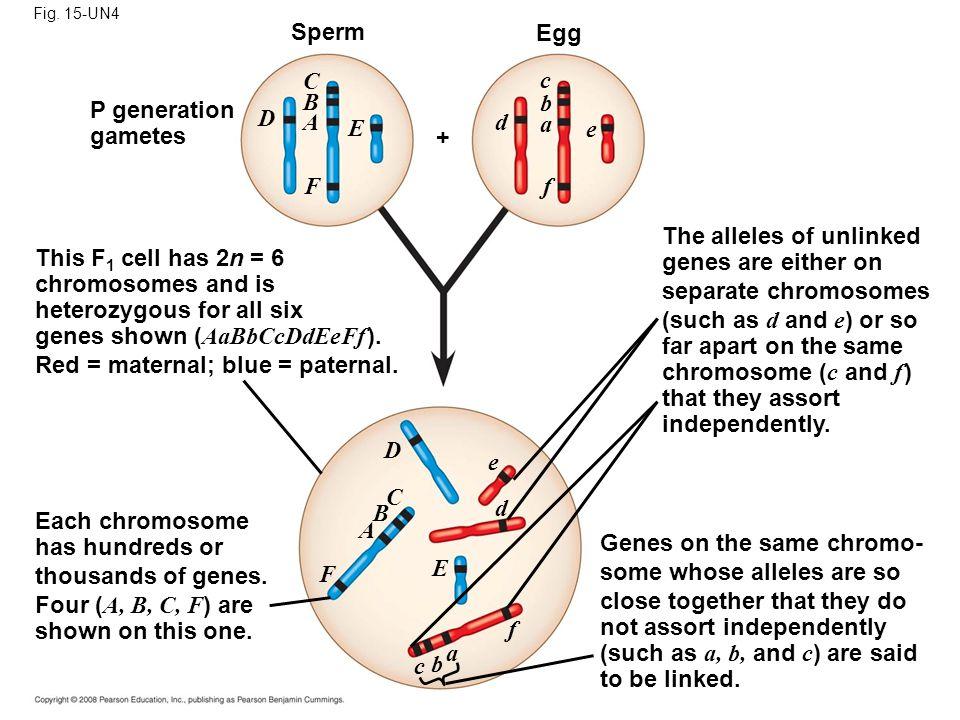 Fig. 15-UN4 Egg Sperm P generation gametes CBACBA D E F D F E A B C e d f c b a d f e cbacba This F 1 cell has 2n = 6 chromosomes and is heterozygous