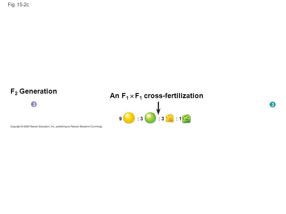 Fig. 15-2c F 2 Generation An F 1  F 1 cross-fertilization 9 : 3 : 1 3 3