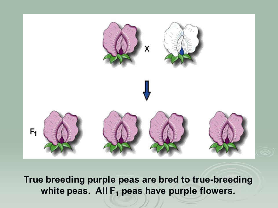 True breeding purple peas are bred to true-breeding white peas. All F 1 peas have purple flowers.
