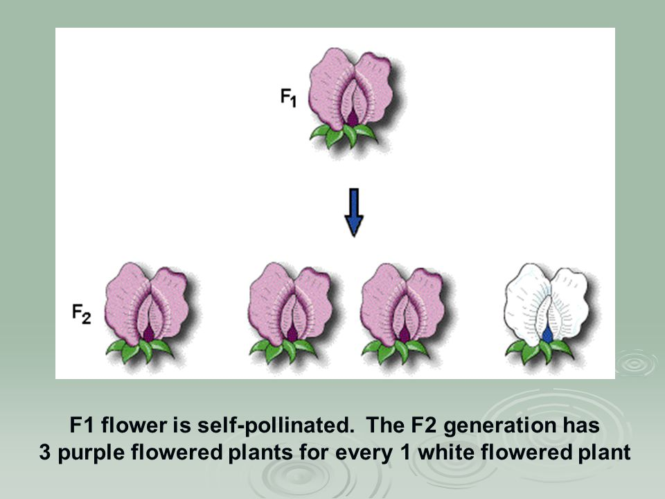 F1 flower is self-pollinated.