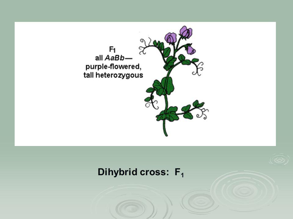 Dihybrid cross: F 1