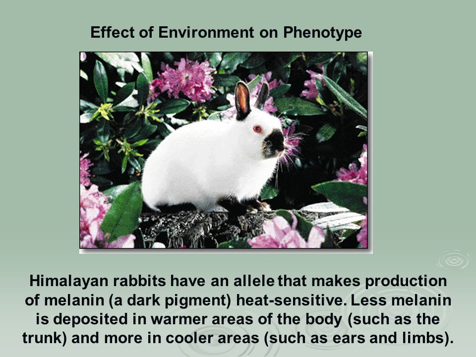 Himalayan rabbits have an allele that makes production of melanin (a dark pigment) heat-sensitive.