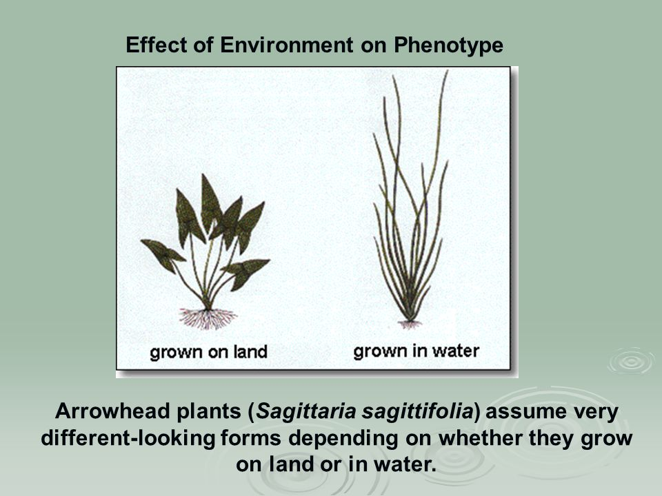 Effect of Environment on Phenotype Arrowhead plants (Sagittaria sagittifolia) assume very different-looking forms depending on whether they grow on land or in water.