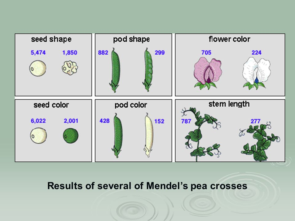 Results of several of Mendel's pea crosses
