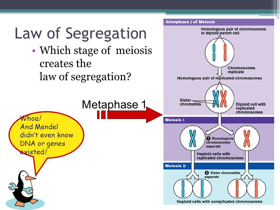 Fourth, the law of segregation Law of segregation ▫during meiosis, alleles segregate  homologous chromosomes separate ▫each allele for a trait is pac