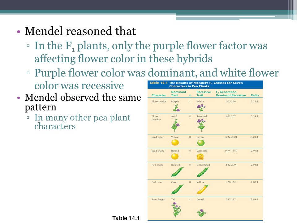 Mendel reasoned that ▫In the F 1 plants, only the purple flower factor was affecting flower color in these hybrids ▫Purple flower color was dominant, and white flower color was recessive Mendel observed the same pattern ▫In many other pea plant characters Table 14.1