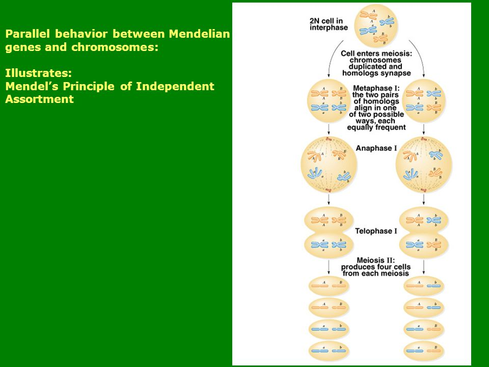 Parallel behavior between Mendelian genes and chromosomes: Illustrates: Mendel's Principle of Independent Assortment