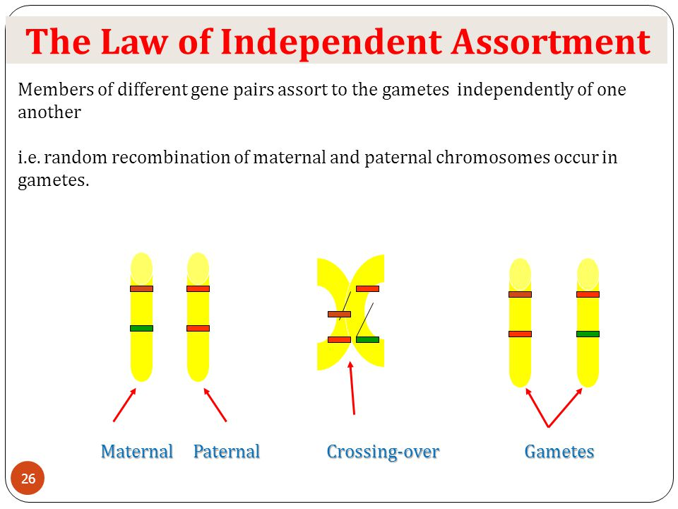 The Law of Independent Assortment Members of different gene pairs assort to the gametes independently of one another i.e. random recombination of mate