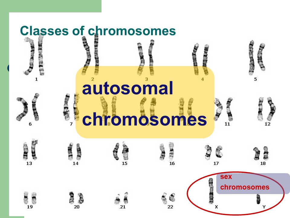 Chromosomal Linkage Morgan Drosophilia melanogaster XX (female) vs.