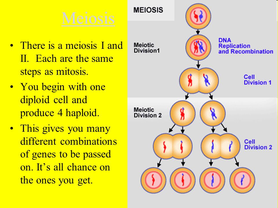 Meiosis There is a meiosis I and II. Each are the same steps as mitosis. You begin with one diploid cell and produce 4 haploid. This gives you many di