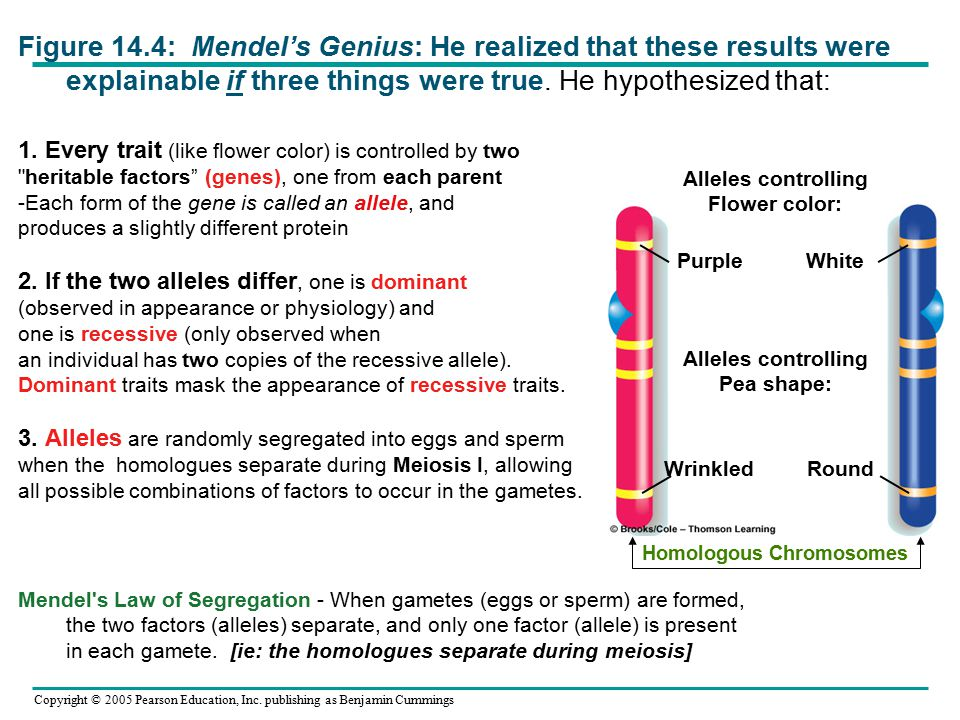 Copyright © 2005 Pearson Education, Inc. publishing as Benjamin Cummings Figure 14.4: Mendel's Genius: He realized that these results were explainable