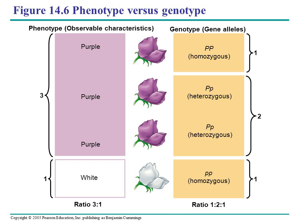 Copyright © 2005 Pearson Education, Inc. publishing as Benjamin Cummings Figure 14.6 Phenotype versus genotype 3 1 1 2 1 Phenotype (Observable charact
