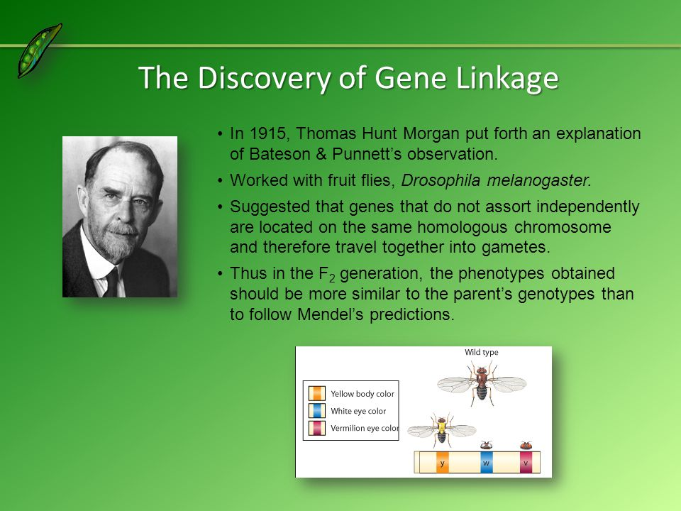 The Discovery of Gene Linkage In 1915, Thomas Hunt Morgan put forth an explanation of Bateson & Punnett's observation.