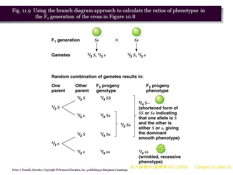 台大農藝系 遺傳學 601 20000 Chapter 10 slide 19 Confirming the Principle of Segregation: The Use of Testcrosses 1.Mendel observed that plants with the recessive phenotype are all true-breeding.