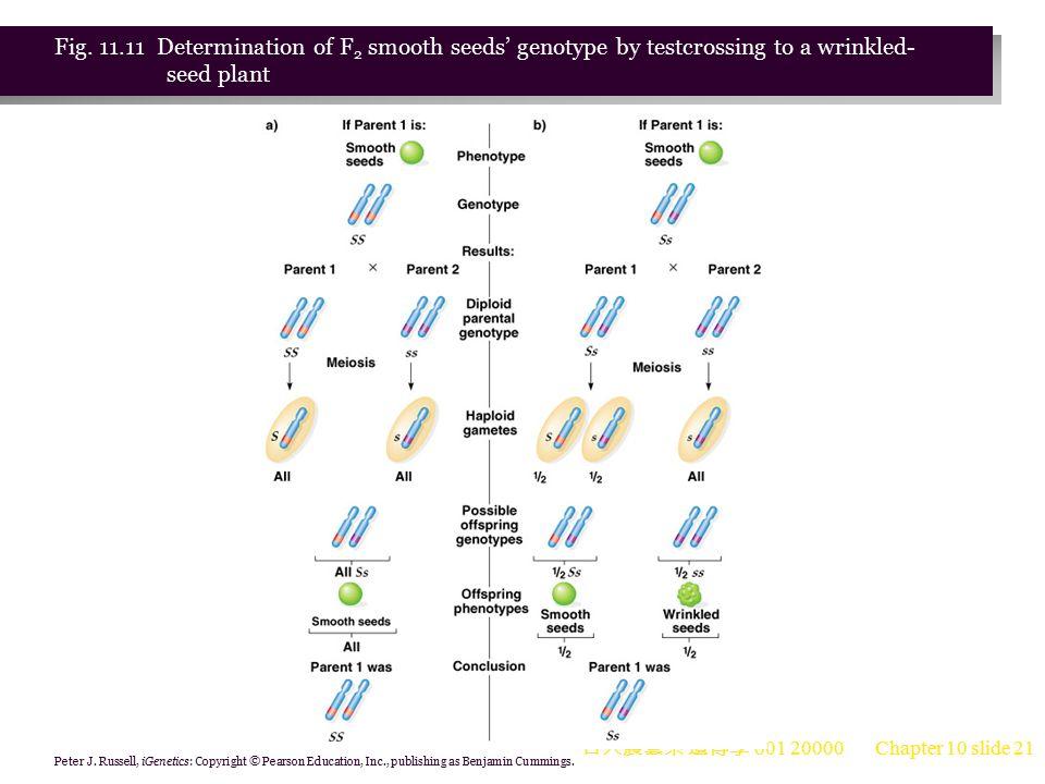 台大農藝系 遺傳學 601 20000 Chapter 10 slide 22 The Wrinkled-Pea Phenotype 1.The wrinkled phenotype is recessive because its gene's protein product is missing or does not function correctly.