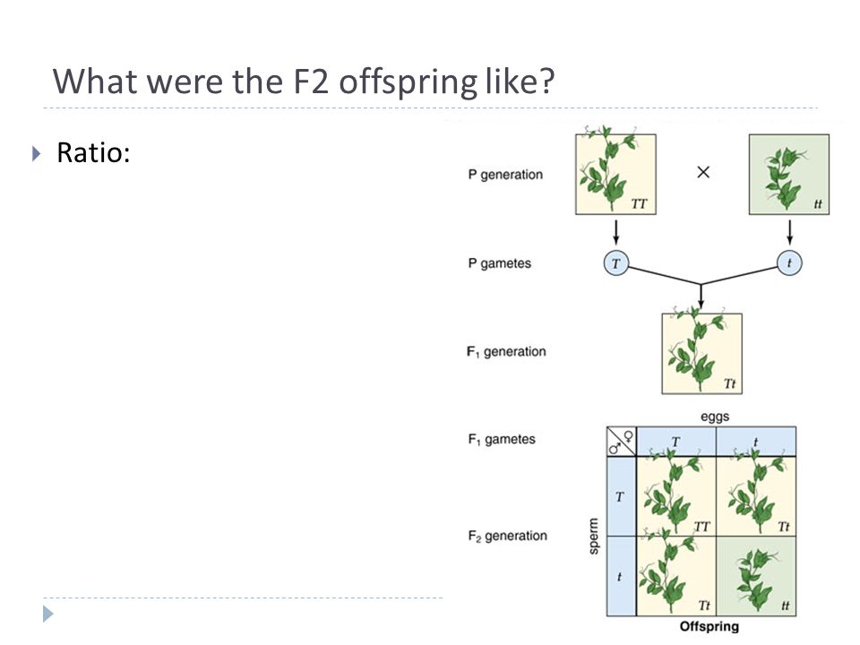What were the F2 offspring like  Ratio: