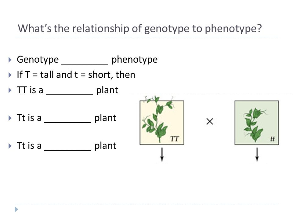 What's the relationship of genotype to phenotype.