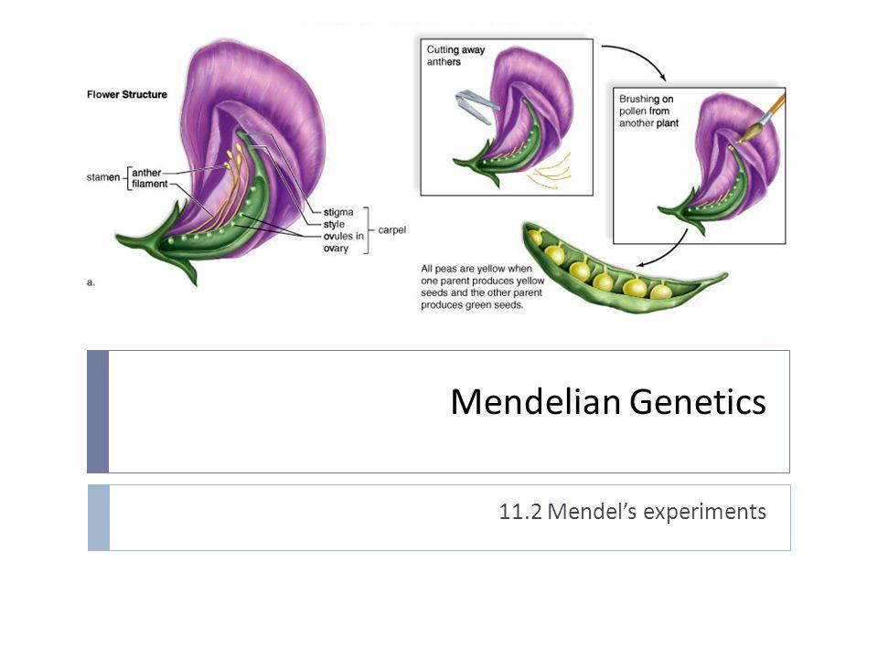 Mendelian Genetics 11.2 Mendel's experiments