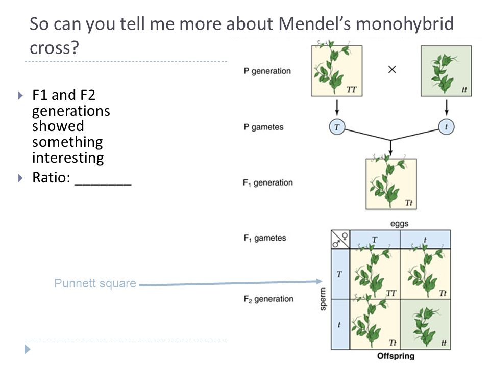 So can you tell me more about Mendel's monohybrid cross.