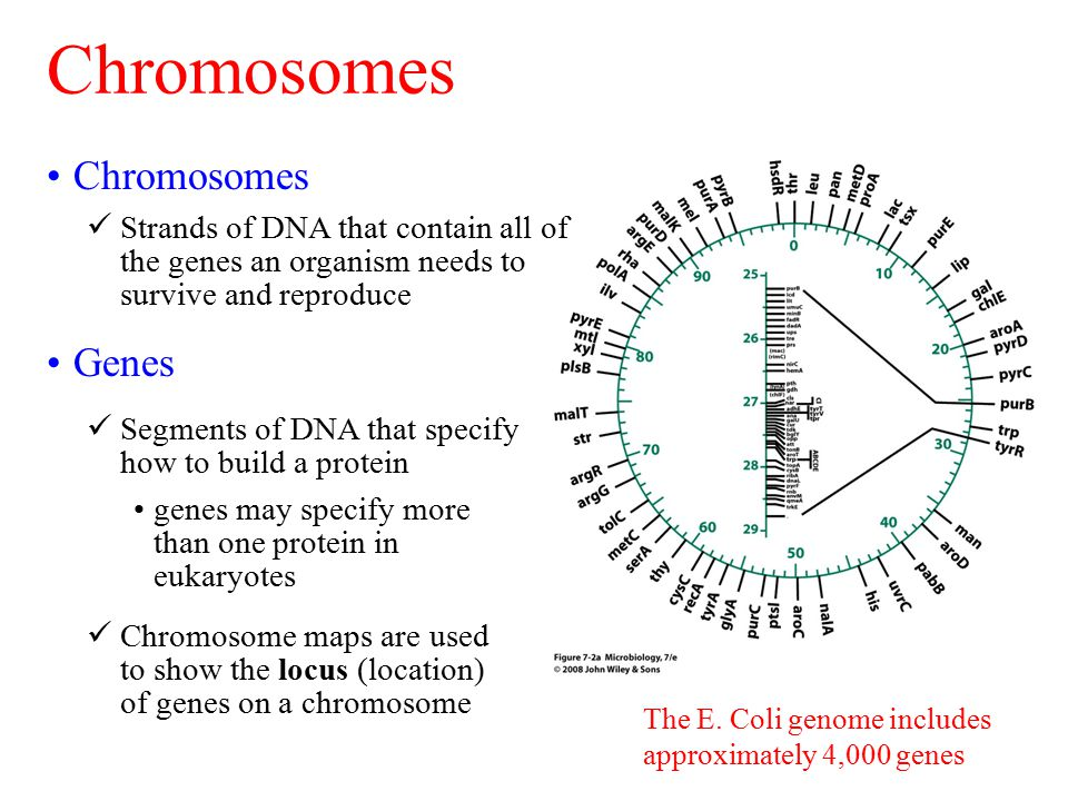 The E. Coli genome includes approximately 4,000 genes Chromosomes Strands of DNA that contain all of the genes an organism needs to survive and reprod