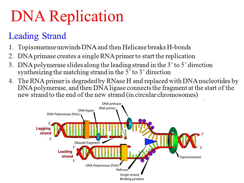 Leading Strand 1.Topisomerase unwinds DNA and then Helicase breaks H-bonds 2.DNA primase creates a single RNA primer to start the replication 3.DNA polymerase slides along the leading strand in the 3' to 5' direction synthesizing the matching strand in the 5' to 3' direction 4.The RNA primer is degraded by RNase H and replaced with DNA nucleotides by DNA polymerase, and then DNA ligase connects the fragment at the start of the new strand to the end of the new strand (in circular chromosomes) DNA Replication