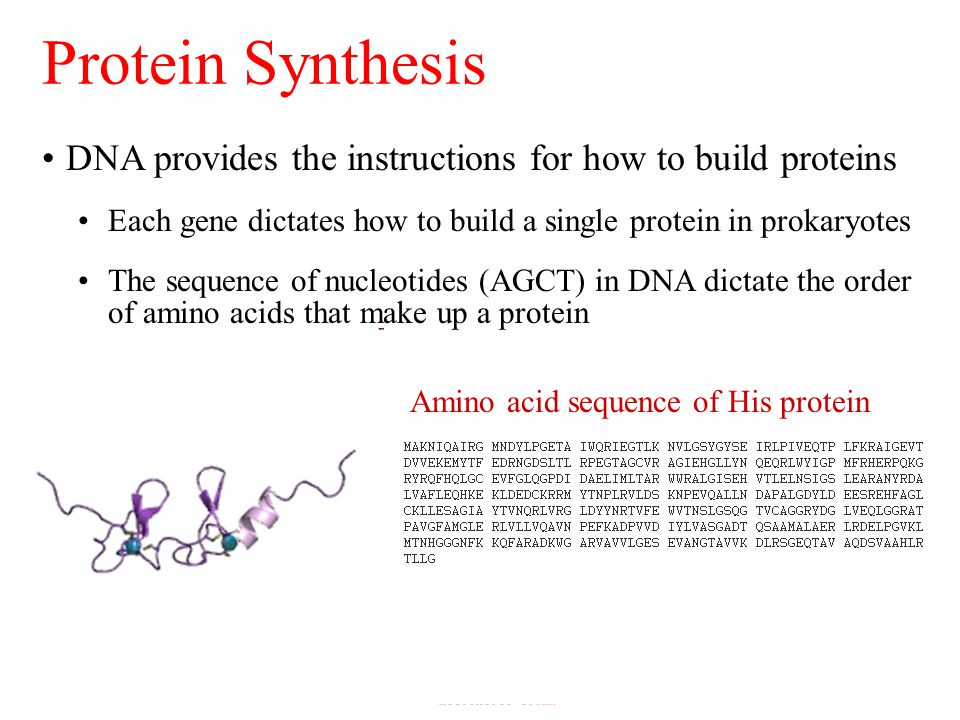 Protein Synthesis Nucleotide sequence of His gene Amino acid sequence of His protein DNA provides the instructions for how to build proteins Each gene