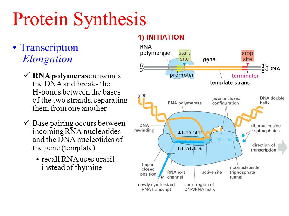Protein Synthesis 1) INITIATION Transcription Elongation RNA polymerase unwinds the DNA and breaks the H-bonds between the bases of the two strands, s