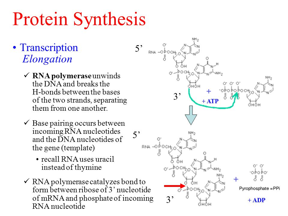 Protein Synthesis Transcription Elongation RNA polymerase unwinds the DNA and breaks the H-bonds between the bases of the two strands, separating them