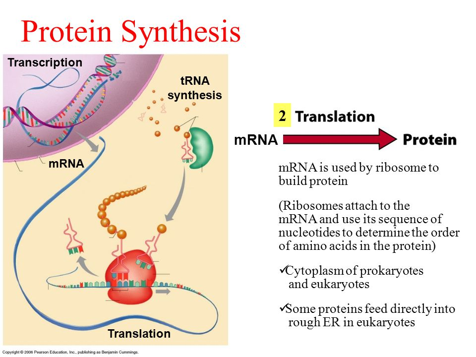 mRNA copy of a gene is synthesized Cytoplasm of prokaryotes Nucleus of eukaryotes 1 Protein Synthesis mRNA is used by ribosome to build protein (Ribosomes attach to the mRNA and use its sequence of nucleotides to determine the order of amino acids in the protein) Cytoplasm of prokaryotes and eukaryotes Some proteins feed directly into rough ER in eukaryotes 2 mRNA Transcription Translation mRNA tRNA synthesis